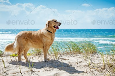 Golden retriever on a sandy dune overlooking beach