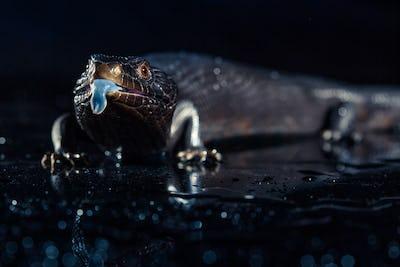 Black blue tongued lizard in dark shiny environement