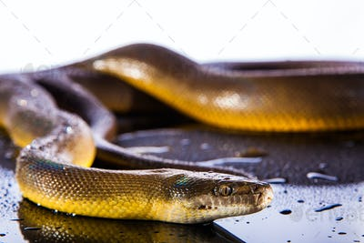 Single Rainbow Serpent Water Python - Liasis fuscus - isolated o