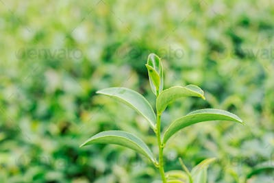 Tea with nature background