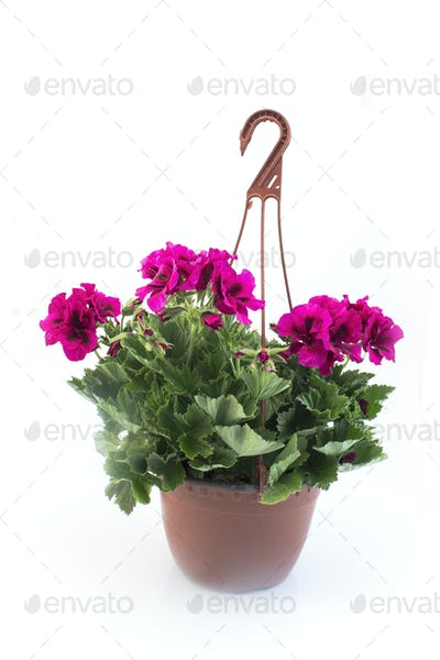 Pink England Geraniums Potted