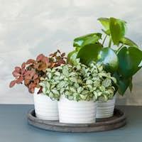 houseplant fittonia albivenis and peperomia in white pot