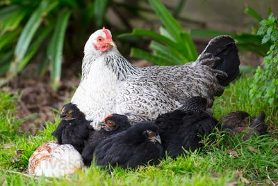 A Brood of Chickens
