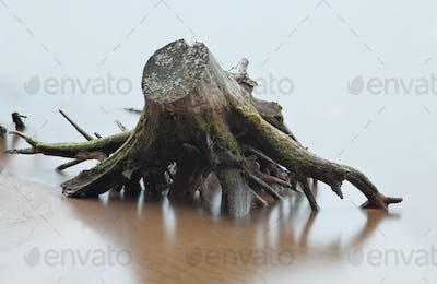 Stump and root of dead tree in river