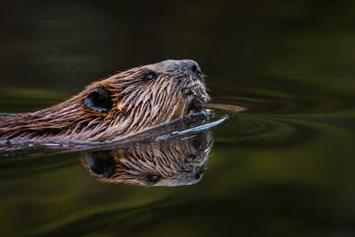 North American Beaver - Castor canadensis, close-up portrait and reflection while swimming