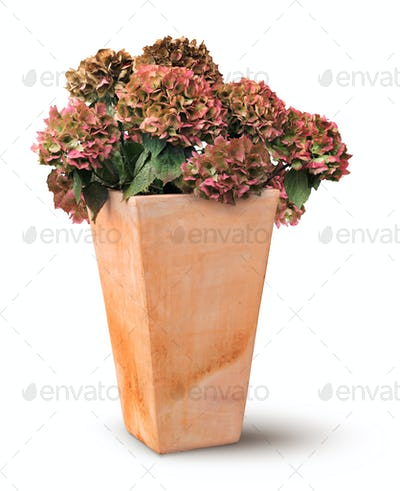 Decayed autumn hydrangea in terracotta pot