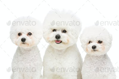 beautiful bichon frisee dogs
