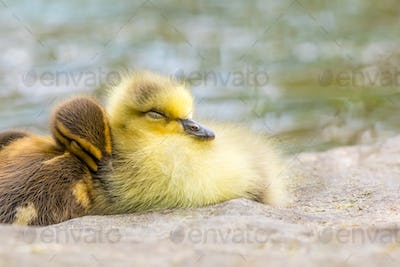 A gosling and duckling snuggle up together to take a cozy nap.