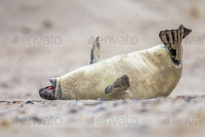 baby seal bent of laughter