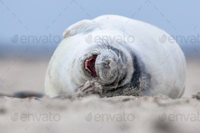 Laughing puppy seal