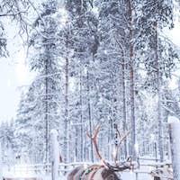 Reindeers in a winter landscape