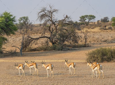 Female Springbok Herd