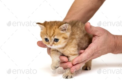 Little ginger kitten in hands