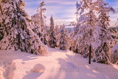Winter Sunny Landscape with big snow covered pine trees - Finland, Lapland