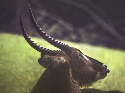 The Horn Of Waterbuck