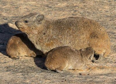 Rock Hyrax Feeding Babies