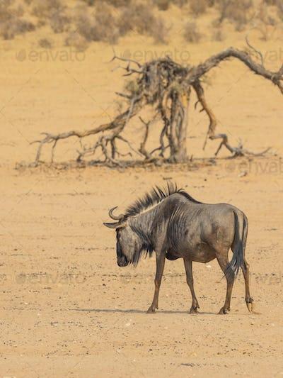 Solitary Blue Wildebeest