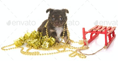 puppy chihuahua and christmas