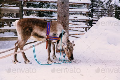 Reindeer in a winter forest in Lapland. Finland