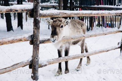 Baby reindeer in a winter forest farm in Lapland. Finland