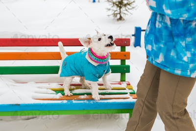 Dog Jack Russell Terrier in winter park