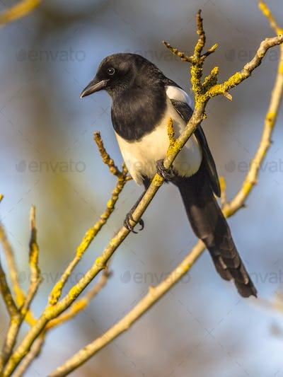 Eurasian magpie looking down