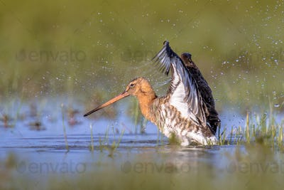 Black-tailed Godwit wader bird flapping off water