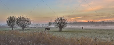Pollard willows and horses sunrise