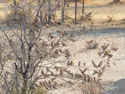 A Mass of Cape Sparrows