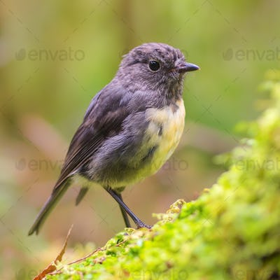 New Zealand Robin on green log in natural forest