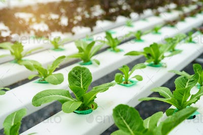 Organic hydroponic vegetable cultivation farm