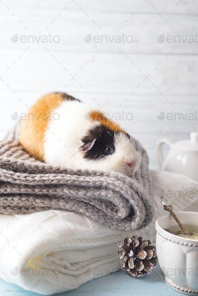 Christmas card with guinea pig