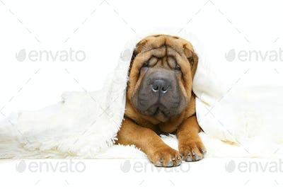shar pei puppy under plaid