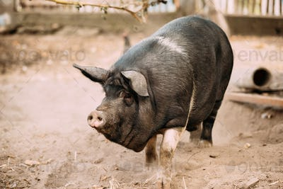 Household Large Black Pig In Farm. Pig Farming Is Raising And Br