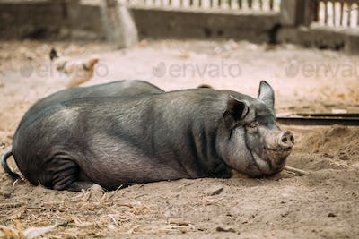 Household A Large Black Pig In Farm. Pig Farming Is Raising And