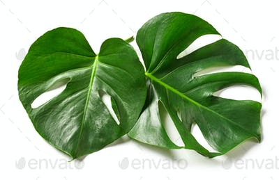 leaves of monstera plant