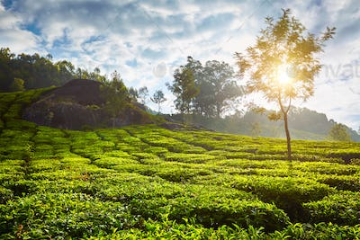 tea plantation in the morning, India