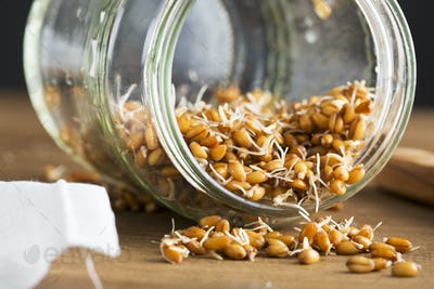 Sprouted Wheat in Jar