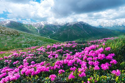 Amazing pink rhododendron flowers