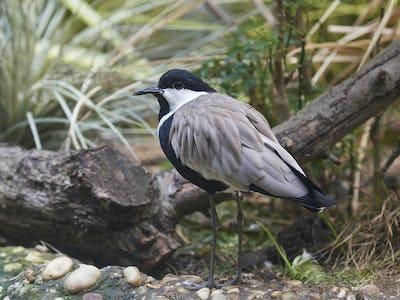 Spur-winged lapwing (Vanellus spinosus)