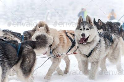 Dog sled with husky dogs