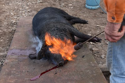 Slaughter burn the pig hair off with a gas burner before butchering