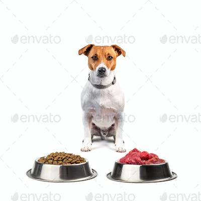 jack russel with food