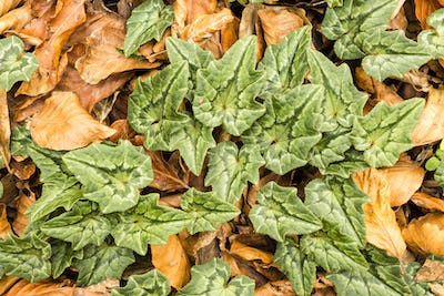 Cyclamen plants among beech fallen leaves