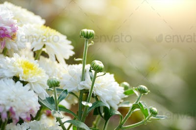 Colorful autumnal toned chrysanthemum flowerbed against sunlight