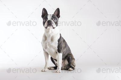 Loyal Boston Terrier watching looking upwards