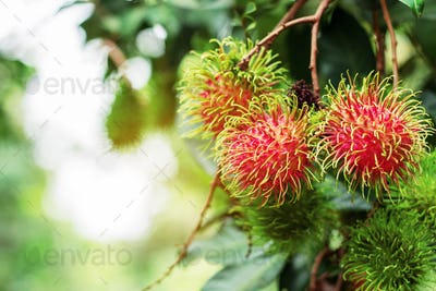 Red rambutan with sun shines