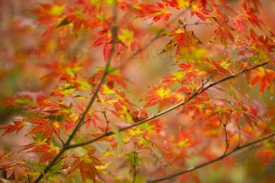 Autumnal foliage of ornamental Maple tree