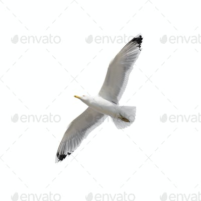 Flying seagull isolated