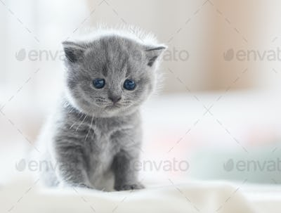 Cute kitten on bed. British Shorthair